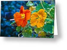 Glowing Nasturtiums 1 Greeting Card