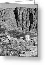 Goat Herd On Mount Evans Greeting Card