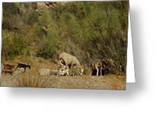 Goat Meeting In Spain Greeting Card