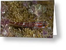Goby On Coral, Australia Greeting Card