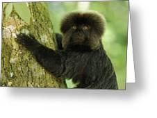 Goeldis Monkey Callimico Goeldii Greeting Card