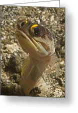 Gold-speck Jawfish Pouting, North Greeting Card