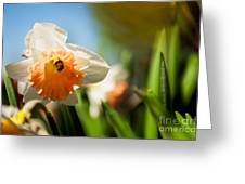 Golden Daffodils  Greeting Card