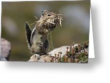 Golden-mantled Ground Squirrel Greeting Card