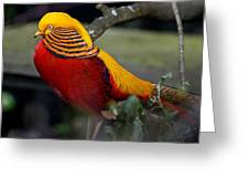Golden Pheasant Posing Greeting Card