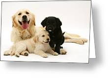 Golden Retriever And Puppies Greeting Card by Jane Burton