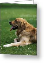 Golden Retriever Dog Laying In The Grass Greeting Card