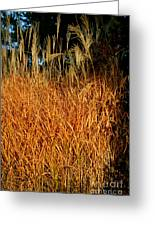 Golden Silver Grass Greeting Card