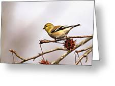 Goldfinch In Sweetgum Greeting Card