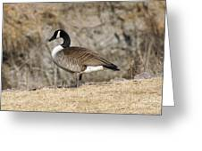 Goose Standing Still Greeting Card