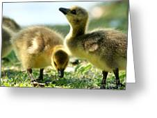 Goslings 6 Greeting Card