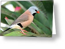 Grass Finch Greeting Card