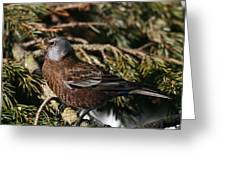 Gray-crowned Rosy Finch Greeting Card