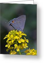 Gray Hairstreak Butterfly Din044 Greeting Card