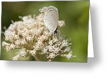 Gray Hairstreak Butterfly On Milkweed Wildflowers Greeting Card