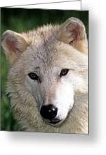 Gray Wolf Face Greeting Card
