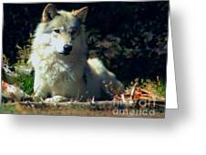 Gray Wolf ... Montana Art Photo Greeting Card