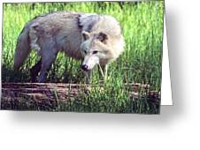 Gray Wolf Watching Greeting Card