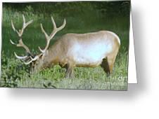 Grazing Bull Elk  Greeting Card