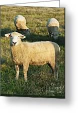 Grazing Sheep. Greeting Card