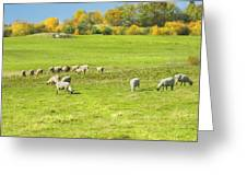 Grazing Sheep On Farm In Autumn Maine Greeting Card