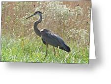 Great Blue Heron - Ardea Herodias Greeting Card