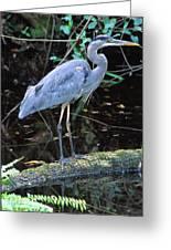 Great Blue Heron, Florida Greeting Card