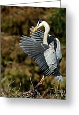 Great Blue Heron Landing Greeting Card