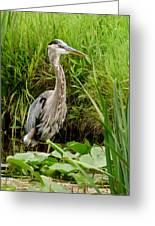 Great Blue Heron Walking Greeting Card