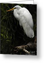 Great Egret 3 Greeting Card