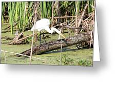Great Egret Hunting Greeting Card