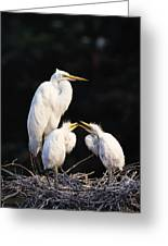 Great Egret In Nest With Young Greeting Card