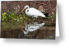 Great Egret Searching For Food In The Marsh Greeting Card