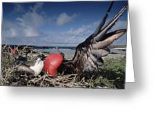 Great Frigatebirds Courting Greeting Card