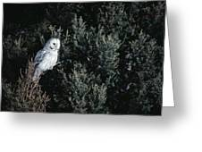 Great Gray Owl Strix Nebulosa In Blonde Greeting Card