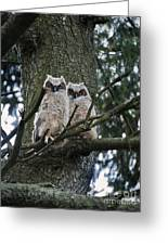 Great Horned Owls Young Greeting Card