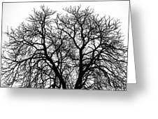 Great Old Tree Greeting Card