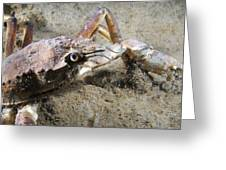Great Spider Crab Greeting Card