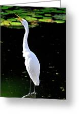 Great White Egret Singing In The Morning Light Greeting Card
