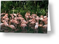 Greater Flamingo Phoenicopterus Ruber Greeting Card