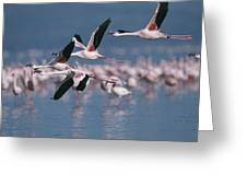 Greater Flamingos In Flight Over Lake Greeting Card