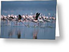 Greater Flamingos Run Through Shallow Greeting Card