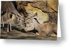 Greater Kudu Affection Greeting Card