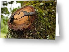 Greater Stag Beetles Greeting Card