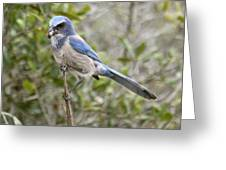 Greedy Florida Scrubjay Greeting Card