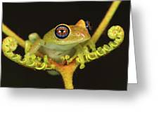 Green Bright-eyed Frog Boophis Viridis Greeting Card