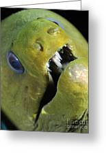 Green Moray Eel Close-up On Caribbean Greeting Card