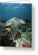 Green Sea Turtle Chelonia Mydas Greeting Card