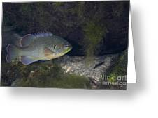 Green Sunfish Swimming Along The Rocky Greeting Card