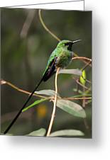Green Tailed Trainbearer Hummingbird Stylized Greeting Card
